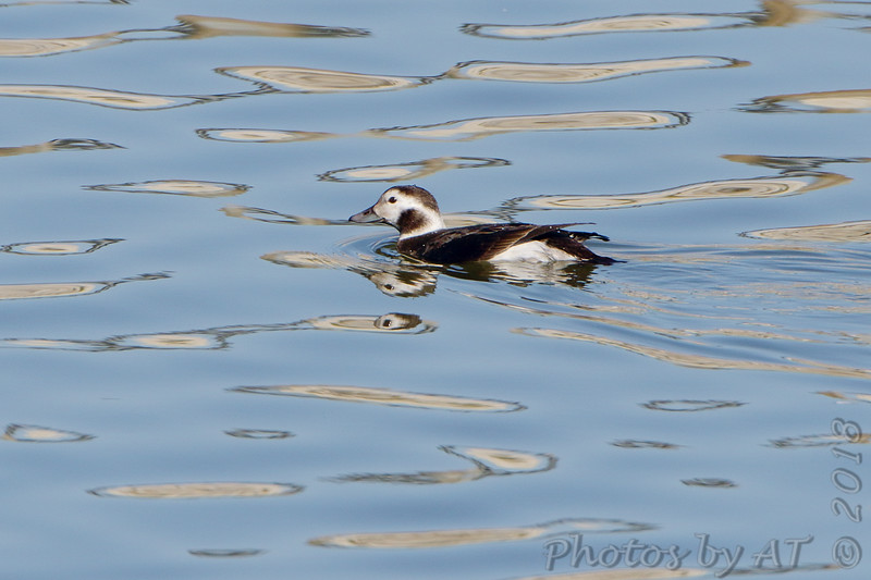 Long-tailed Duck (female)<br /> Teal Pond 11:13 am <br /> Riverlands Migratory Bird Sanctuary