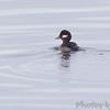 Bufflehead (female) <br /> Ellis Bay  <br /> Riverlands Migratory Bird Sanctuary