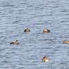 American Black Ducks <br /> and Gadwall <br /> Ellis Bay <br /> Riverlands Migratory Bird Sanctuary