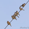 Eurasian Tree Sparrows <br /> Red School Road <br /> Riverlands Migratory Bird Sanctuary