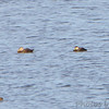 American Black Ducks <br /> Ellis Bay <br /> Riverlands Migratory Bird Sanctuary