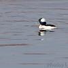 Bufflehead (male) <br /> Teal Pond <br /> Riverlands Migratory Bird Sanctuary