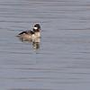 Bufflehead (female) <br /> Teal Pond <br /> Riverlands Migratory Bird Sanctuary