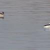 Buflehead (male & female)<br /> Teal Pond <br /> Riverlands Migratory Bird Sanctuary