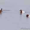 Canvasbacks <br /> Ellis Bay <br /> Riverlands Migratory Bird Sanctuary