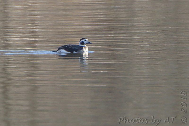 Long-tailed Duck <br /> Teal Pond <br /> Riverlands Migratory Bird Sanctuary