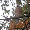 Cooper's Hawk  <br /> (Shot out bathroom window) <br /> Bridgeton, Mo. <br /> 2018-11-14 11:12:03