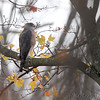 Cooper's Hawk <br /> (Shot out bathroom window) <br /> Bridgeton, Mo. <br /> 2018-11-14 11:12:39