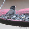 Dark-eyed Junco (Cassiar) <br /> Front yard feeder <br /> Bridgeton, Mo <br /> 2018-11-14 14:52:44<br /> Might be the same one visiting this feeder on 2018-01-09