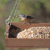 Red-breasted Nuthatch <br /> Backyard window feeder <br /> Bridgeton, Mo. <br /> 2018-11-22 10:17:04