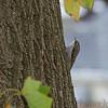 Brown Creeper <br /> My backyard <br /> Bridgeton, Mo. <br /> 2018-11-03 13:32:35