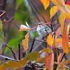 Ruby-throated Hummingbird <br /> Across my backyard <br /> Bridgeton, Mo. <br /> 2018-11-02 09:02:31