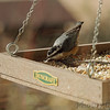 Red-breasted Nuthatch <br /> Backyard window feeder <br /> Bridgeton, Mo. <br /> 2018-11-27 12:45:50