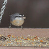 Red-breasted Nuthatch <br /> Backyard window feeder <br /> Bridgeton, Mo. <br /> 2018-11-23 15:16:57