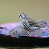 Purple Finch (female) <br /> Front yard feeder <br /> Bridgeton, Mo<br /> 2018-11-01 16:14:16