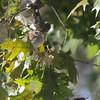 Chipping Sparrow <br /> Across my backyard <br /> Bridgeton, Mo. <br /> 2018-11-13 12:16:10