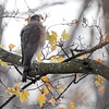 Cooper's Hawk  <br /> (Shot out bathroom window) <br /> Bridgeton, Mo. <br /> 2018-11-14 11:12:03