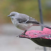 Northern Mockingbird <br /> Front yard feeder <br /> Bridgeton, Mo<br /> 2018-11-02 09:43:20
