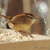Carolina Wren <br /> Backyard window feeder <br /> Bridgeton, Mo. <br /> 2018-11-27 12:51:37