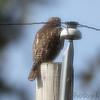 Red-tailed Hawk <br /> Bridgeton, Mo. <br /> 2018-11-07 11:27:00
