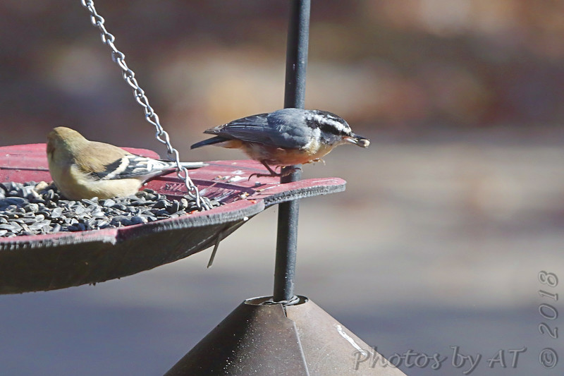 Red-breasted Nuthatch <br /> and American Goldfinch <br /> Front yard feeder <br /> Bridgeton, Mo. <br /> 2018-11-10 10:16:53