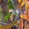 Ruby-throated Hummingbird <br /> Across my backyard <br /> Bridgeton, Mo. <br /> 2018-11-02 09:02:09