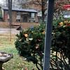 It's snowing! <br /> Male & Female Northern Cardinal <br /> Bridgeton, Mo. <br /> 2018-11-12 12:06:29