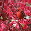 Northern Cardinal <br /> My backyard <br /> Bridgeton, Mo. <br /> 2018-11-02 10:43:03