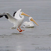 American White Pelicans <br /> Teal Pond <br /> Riverlands Migratory Bird Sanctuary