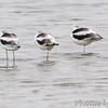 American Avocet (3 of 12)<br /> SW corner of Teal Pond <br /> Riverlands Migratory Bird Sanctuary