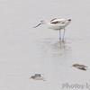 American Avocet <br /> SW corner of Teal Pond <br /> Riverlands Migratory Bird Sanctuary