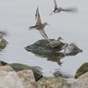 Least Sandpipers <br /> Teal Pond <br /> Riverlands Migratory Bird Sanctuary