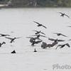 Double-crested Cormorants <br /> Upper Ellis Bay <br /> Riverlands Migratory Bird Sanctuary