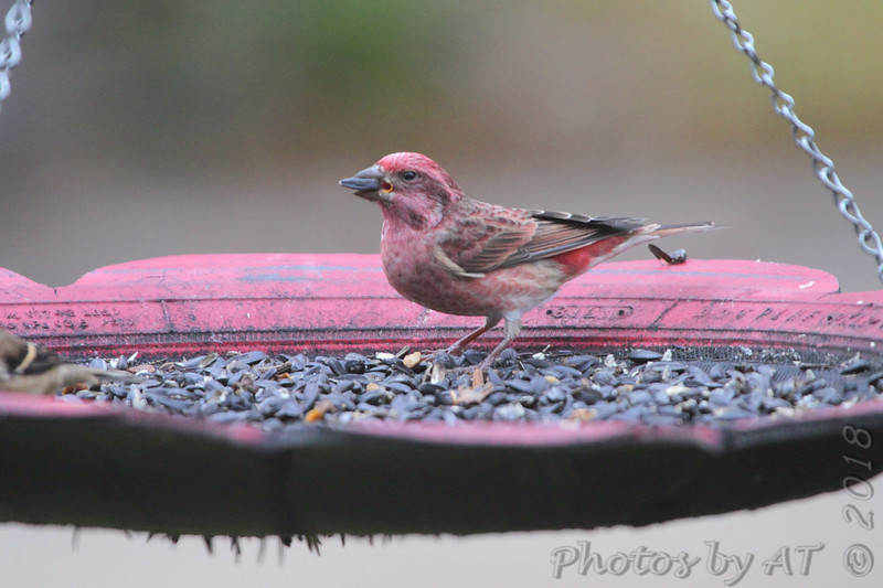 Purple Finch (male) <br /> Front yard feeder <br /> Bridgeton, Mo. <br /> 2018-10-31 11:47:37