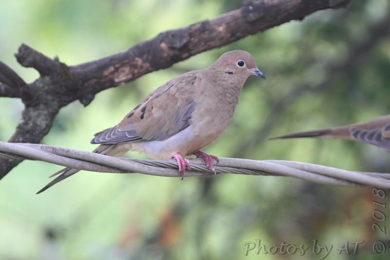 Mourning Dove <br /> Bridgeton, MO <br /> 2018-10-04 09:32:43