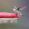 Ruby-throated Hummingbird <br /> Visiting front yard feeder out in yard <br /> Bridgeton, MO <br /> 2018-10-04 11:04:23
