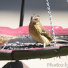 Rose-breasted Grosbeak <br /> Front yard <br /> Bridgeton, Mo.<br /> 2018-10-03 12:16:10
