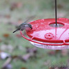 Ruby-throated Hummingbird <br /> Backyard feeder <br /> Bridgeton, MO <br /> 2018-10-26 12:13:35