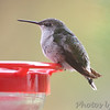 Ruby-throated Hummingbird <br /> Visiting front window feeder <br /> Bridgeton, MO <br /> 2018-10-30 11:07:21