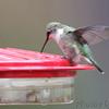 Ruby-throated Hummingbird <br /> Visiting front yard feeder out in yard <br /> Bridgeton, MO <br /> 2018-10-04 11:04:24