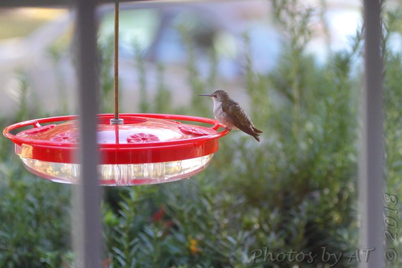 Ruby-throated Hummingbird <br /> Visiting front window feeder <br /> Bridgeton, MO <br /> 2018-10-29 09:57:45