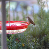 Ruby-throated Hummingbird <br /> Visiting front window feeder <br /> Bridgeton, MO <br /> 2018-10-29 09:57:45
