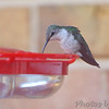 Ruby-throated Hummingbird <br /> Visiting front window feeder <br /> Bridgeton, MO <br /> 2018-10-28 16:19:17
