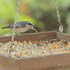 Red-breasted Nuthatch <br /> Backyard feeder in kitchen window <br /> Bridgeton, Mo. <br /> 2018-10-26 10:30:23