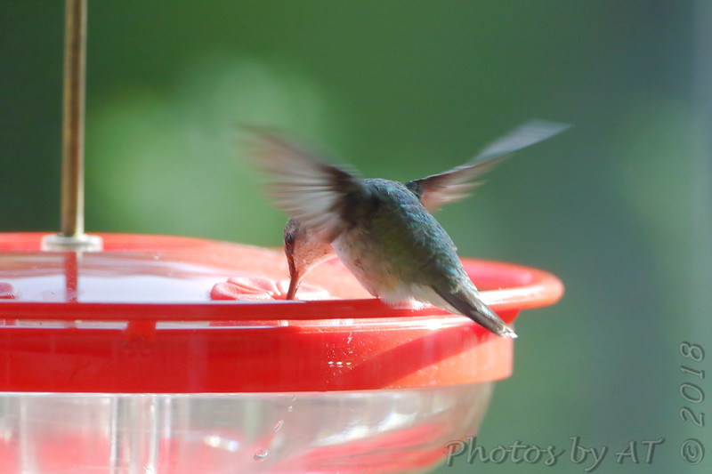 Ruby-throated Hummingbird <br /> Visiting front window feeder <br /> Bridgeton, MO <br /> 2018-10-27 10:20:28