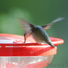Ruby-throated Hummingbird <br /> Visiting front window feeder <br /> Bridgeton, MO <br /> 2018-10-27 10:20:28