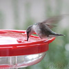 Ruby-throated Hummingbird <br /> Visiting front window feeder <br /> Bridgeton, MO <br /> 2018-10-25 09:13:33