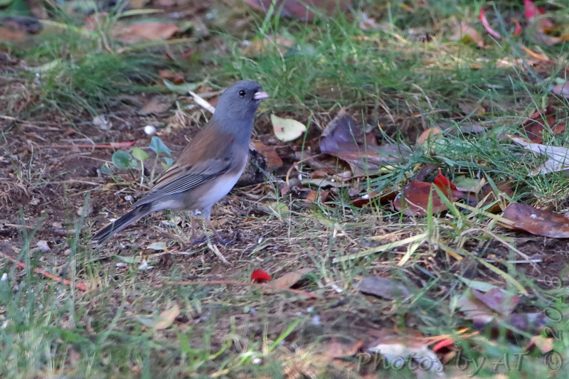 Dark-eyed Junco (Oregon) <br /> Backyard <br /> Bridgeton, Mo. <br /> 2018-10-27 10:31:25
