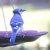 Blue Jay <br /> Front yard feeder <br /> Bridgeton, Mo. <br /> 2018-10-21 09:50:00