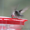Ruby-throated Hummingbird <br /> Visiting front window feeder <br /> Bridgeton, MO <br /> 2018-10-26 10:05:55